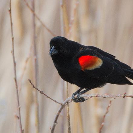 Red-winged Blackbird, Nikon D500, Sigma 150-600mm F5-6.3 DG OS HSM   S
