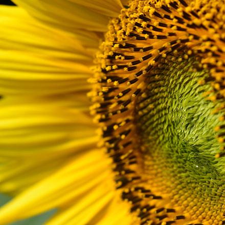Sunflower, Nikon D7200, AF-S Nikkor 300mm f/4D IF-ED