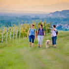Strolling through the vineyards