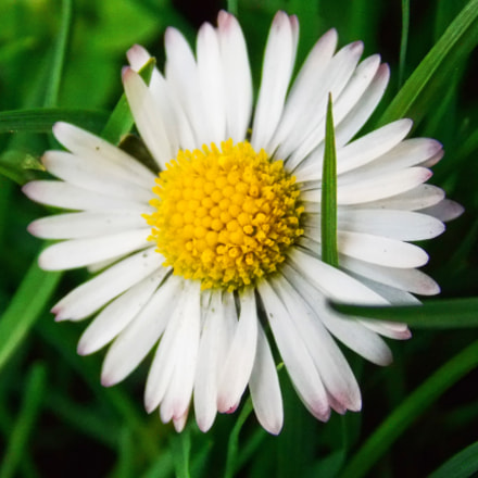 Daisy in a grass, Nikon COOLPIX L320
