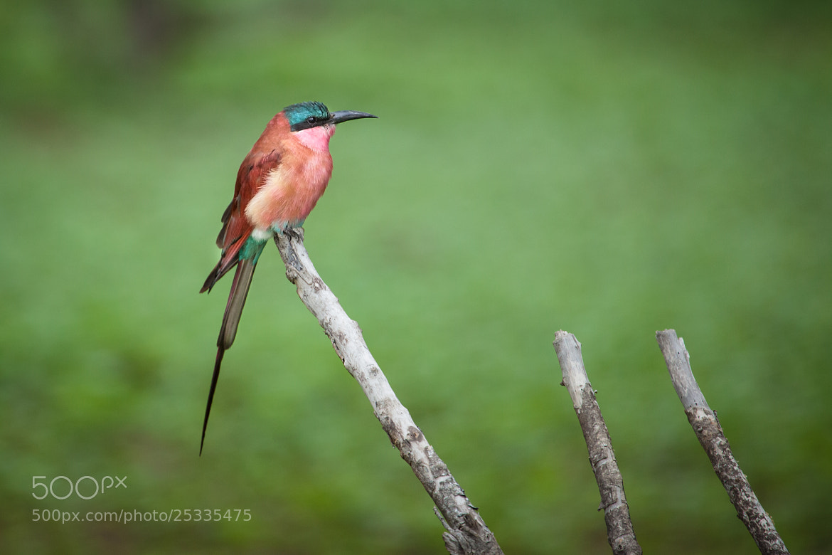 Photograph Bee Eater by Sandeep Thoppil on 500px