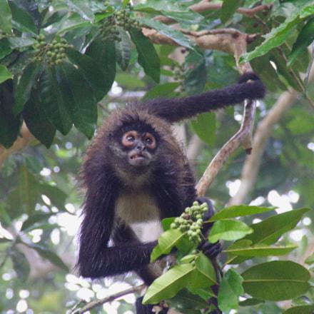 Spider monkey, Canon EOS REBEL T1I, Sigma 18-250mm f/3.5-6.3 DC OS HSM