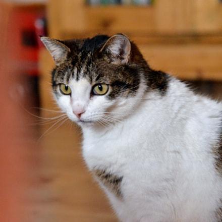 domestic cat, Nikon D7000, AF Zoom-Nikkor 24-85mm f/2.8-4D IF