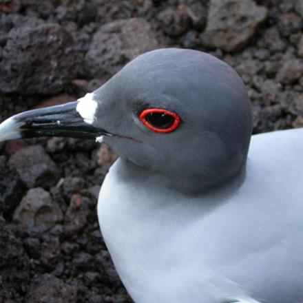 Galapagos Gull, Nikon E4500