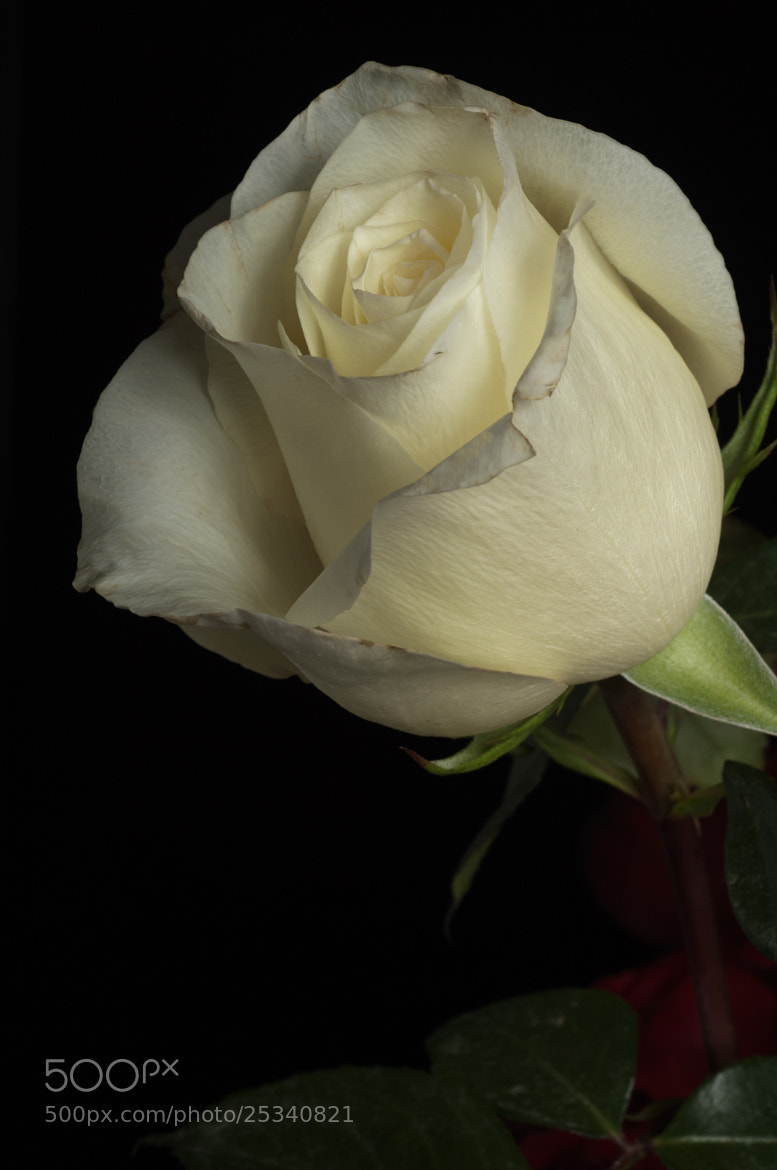 Photograph White rose with leaves by Cristobal Garciaferro Rubio on 500px