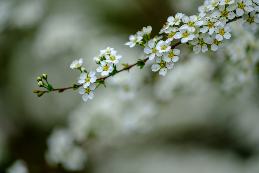 Spirea by Christian Delvaux on 500px.com