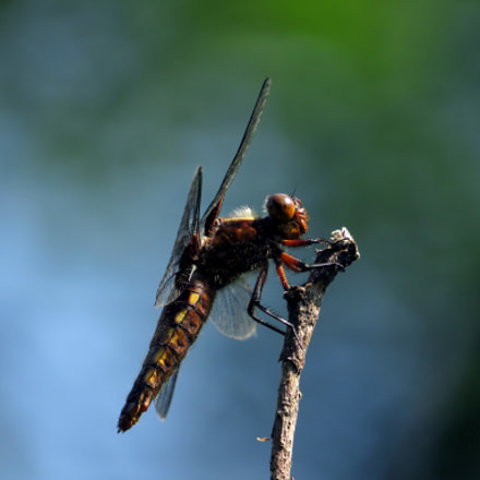 Dragonfly_3, Canon POWERSHOT SX540 HS
