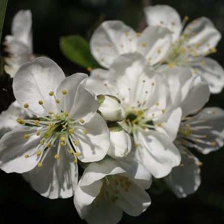 Cherry blossoms, Canon POWERSHOT S100