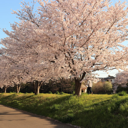Row of cherry blossom, Canon EOS KISS X7, Canon EF-S 24mm f/2.8 STM