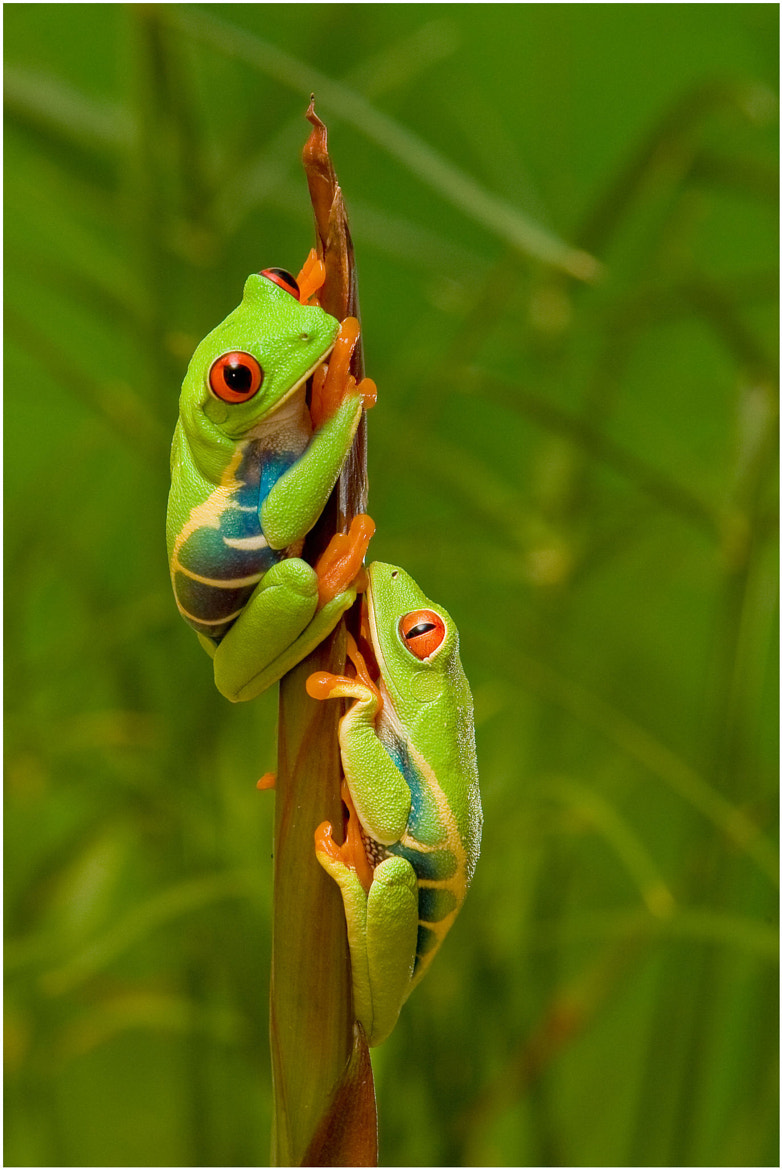 Photograph Red-eyed tree frogs by Pierre Giard on 500px