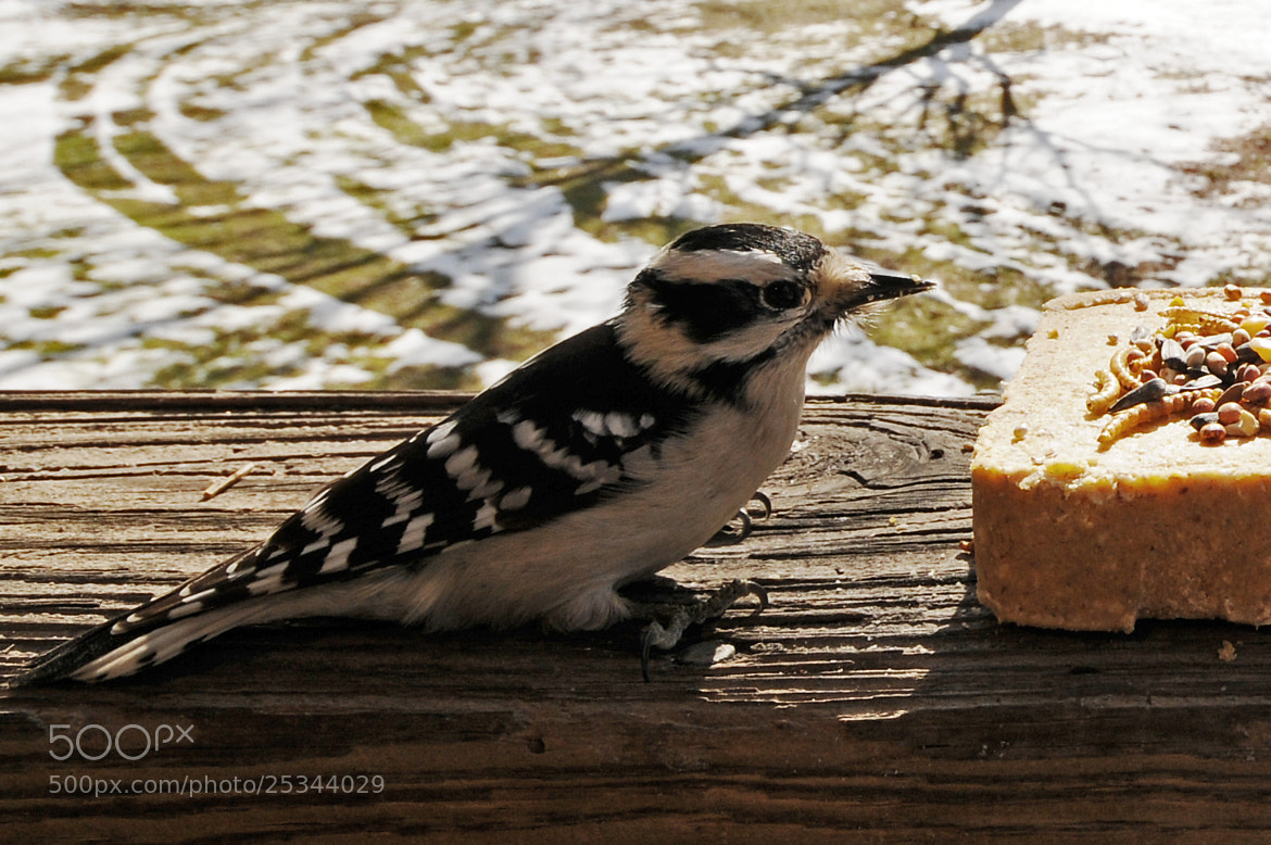 Photograph Downy Woodpecker by Mark Kantner on 500px