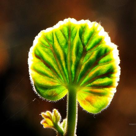 Spring Leaf, Nikon D300, AF-S VR Micro-Nikkor 105mm f/2.8G IF-ED