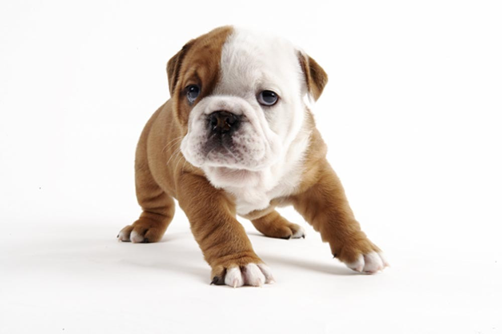 Photograph Bulldog puppy by Peter Fisher on 500px