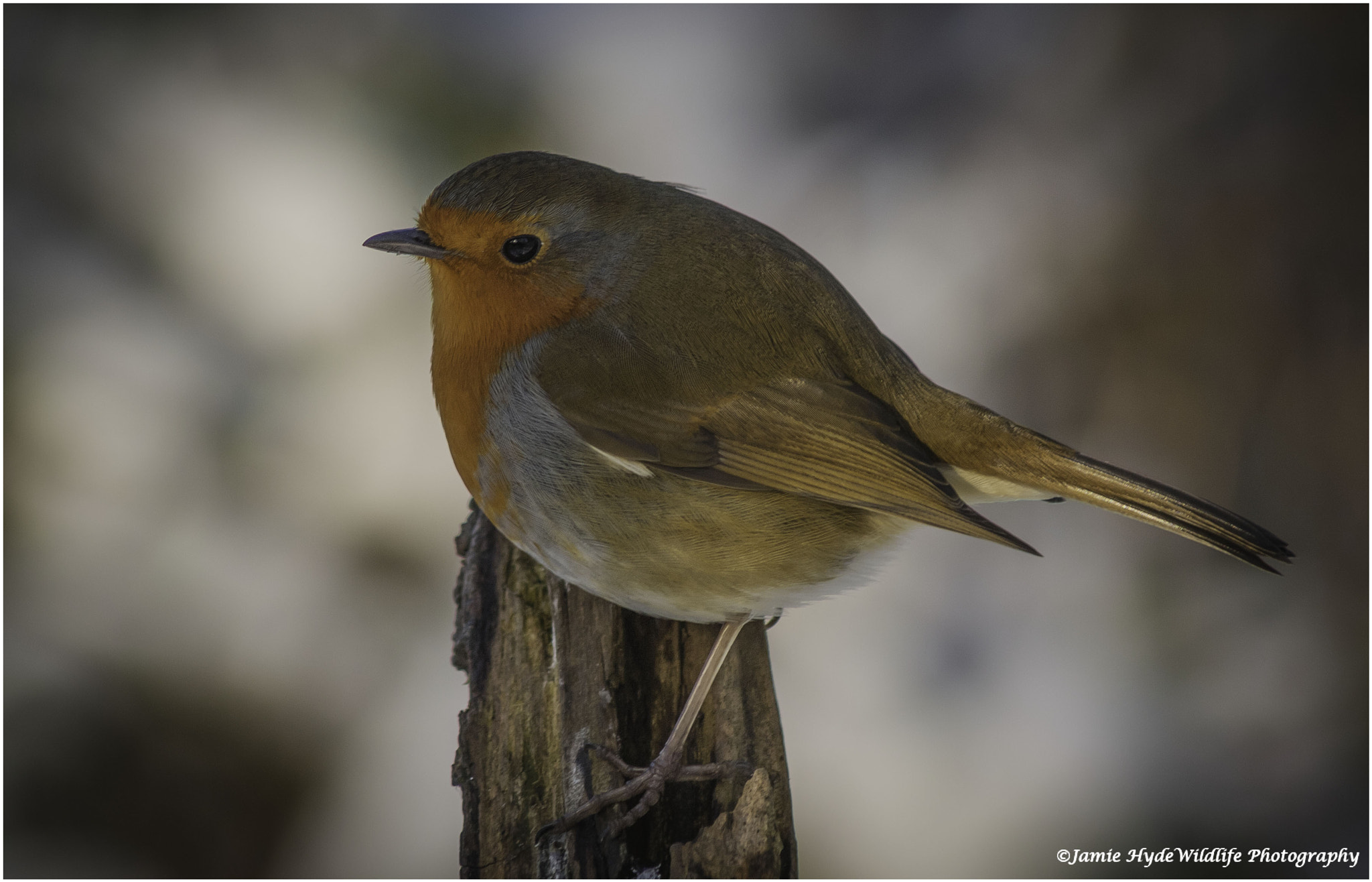 Photograph Winter Robin by Jamie Hyde on 500px