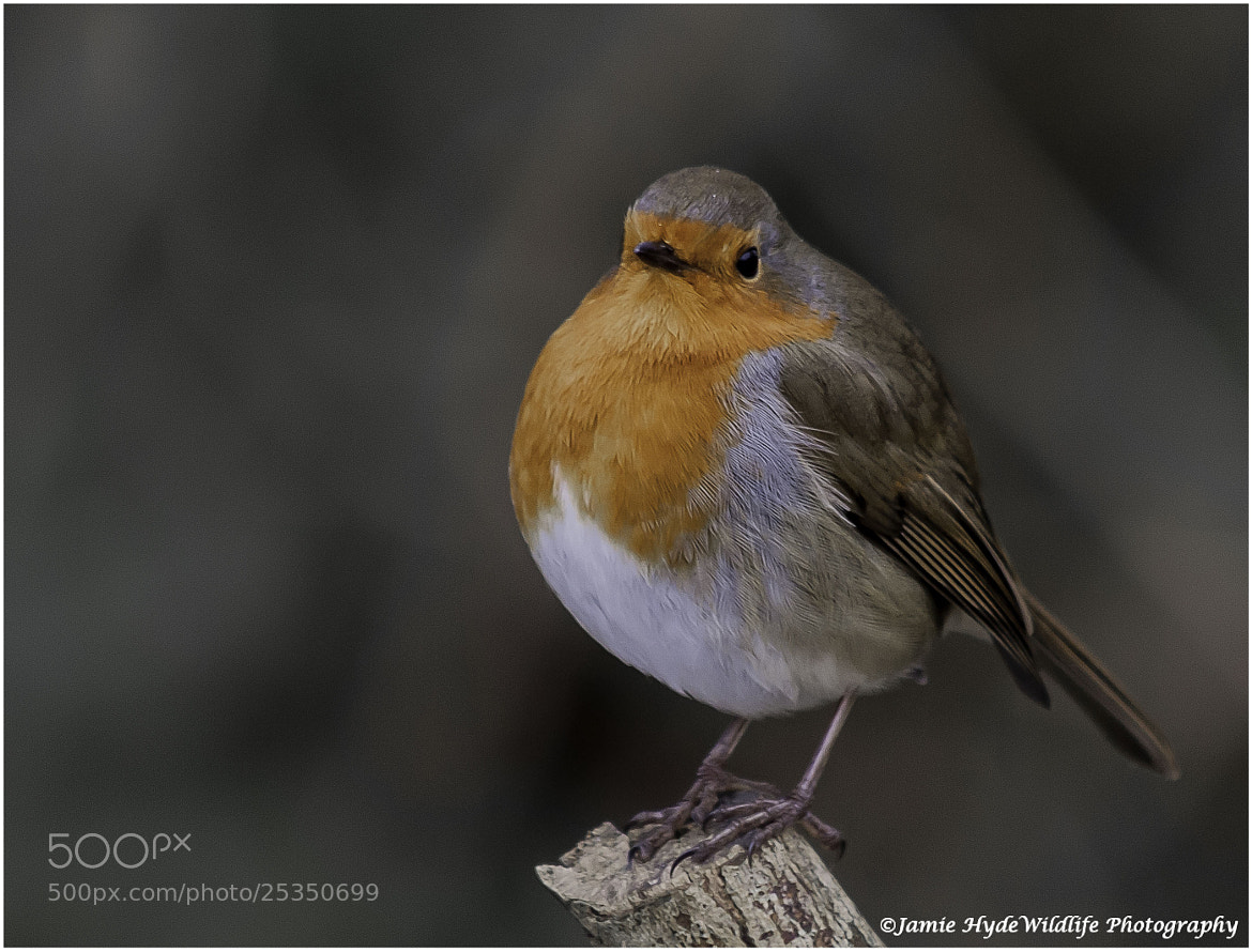 Photograph Robin by Jamie Hyde on 500px