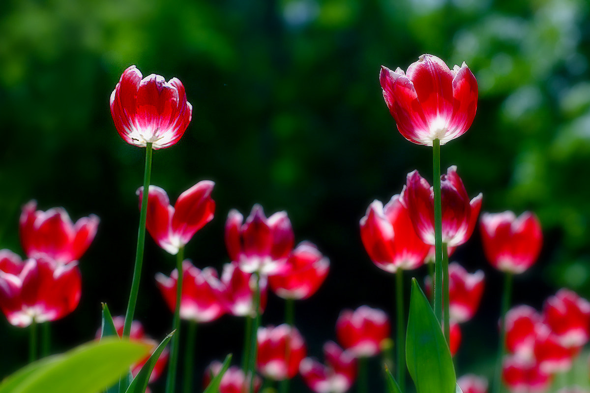 Photograph Red tulip by LEE INHWAN on 500px