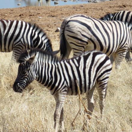 Zebras, Canon IXUS 125 HS