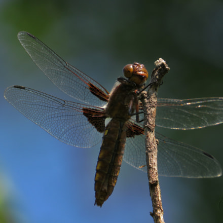 Dragonfly_4, Canon POWERSHOT SX540 HS