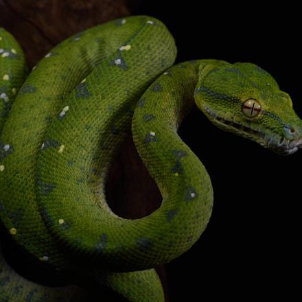 Morelia viridis, Nikon D750
