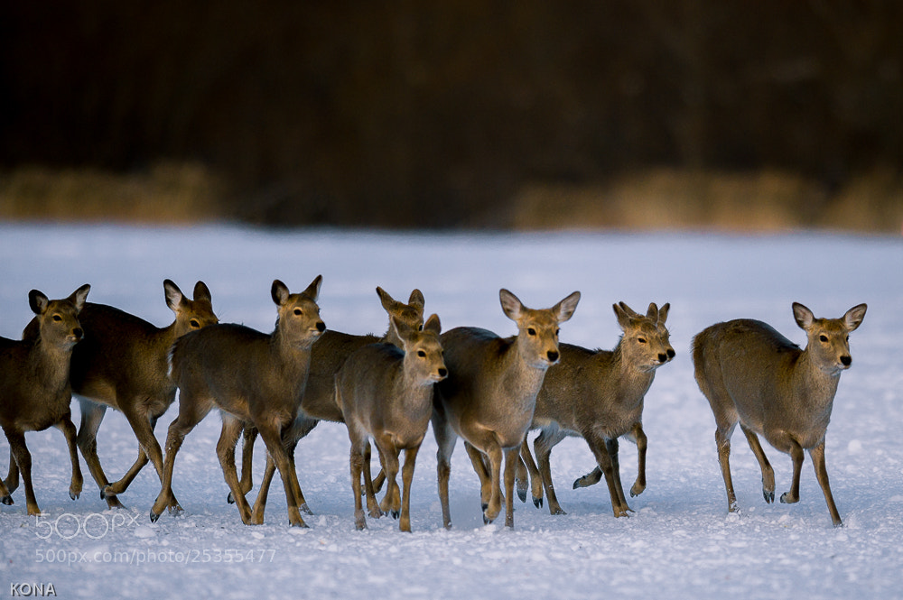 Photograph Yezo sika deer by Toru Kona on 500px