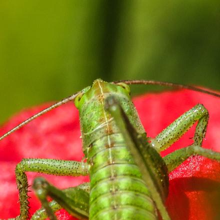 Green grasshopper, Canon POWERSHOT SX540 HS