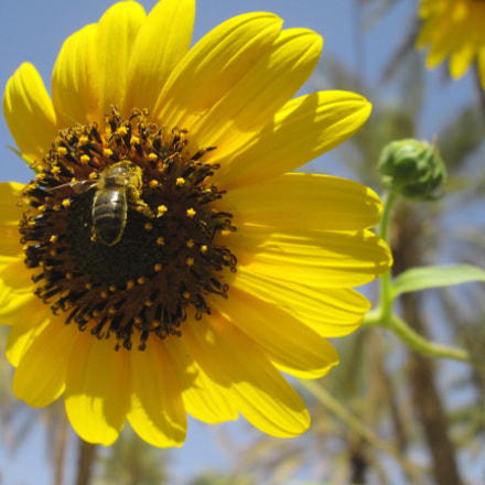 The work of bees ., Canon POWERSHOT A2500