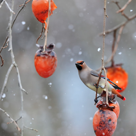 Japanese Waxwing in the, Canon EOS-1D X MARK II, Canon EF 800mm f/5.6L IS