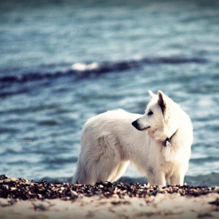 Wolf, Canon EOS 70D, Sigma 70-200mm f/2.8 APO EX HSM