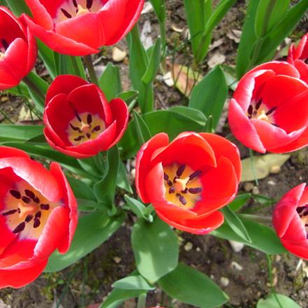 Tulip's heart, Sony DSC-L1