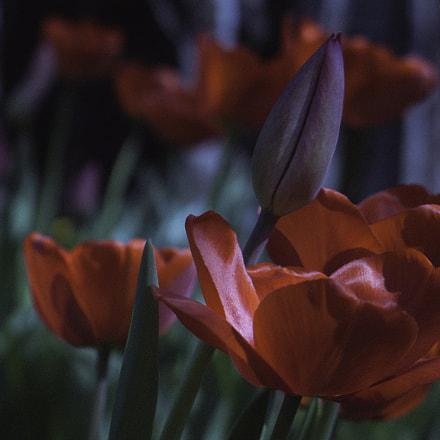tulips., Canon POWERSHOT G6