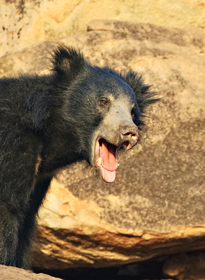 This young Sloth Bear iseems to having a good time. Taken in Daroji Sloth Bear Sanctuary, Karnataka, India, 1st April 2011