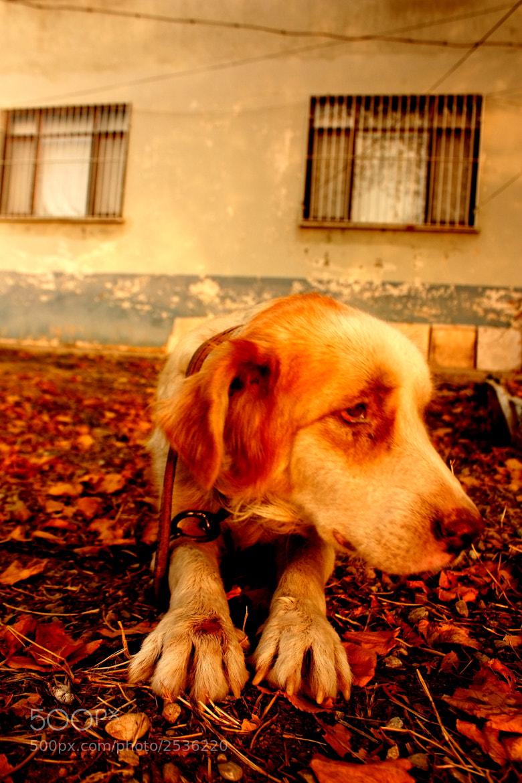 Photograph dog sad autumn by volkan AYTÜRK on 500px