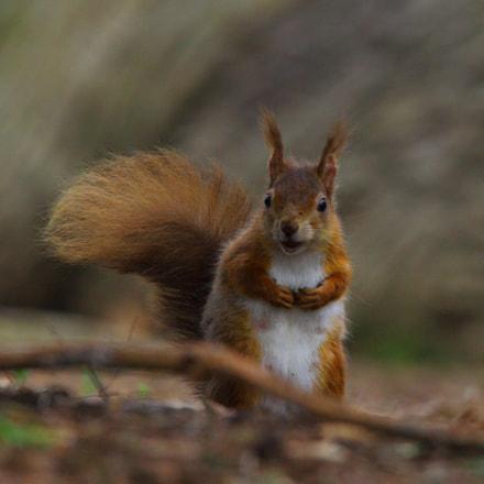 squirrel, Canon EOS 60D, Sigma 150-500mm f/5-6.3 APO DG OS HSM
