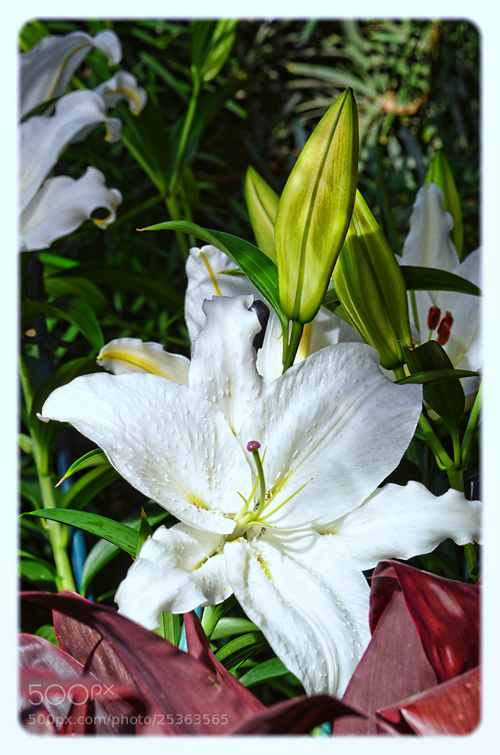 Photograph White Lily by Mark Wirzburger on 500px