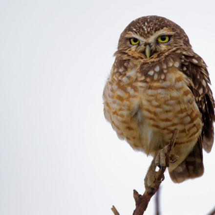 Burrowed Owl, Canon EOS 80D, Sigma 150-600mm f/5-6.3 DG OS HSM | C
