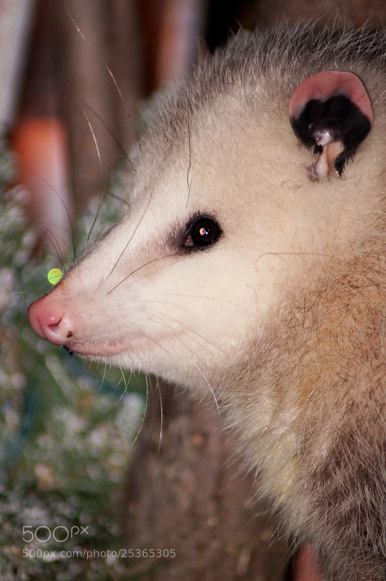 Photograph Possum by cherylorraine smith on 500px