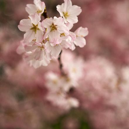 blossom, Nikon D500, Sigma 18-35mm F1.8 DC HSM
