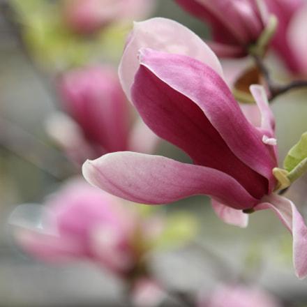 Magnolia liliflora, Canon EOS 600D, Canon EF-S 55-250mm f/4-5.6 IS