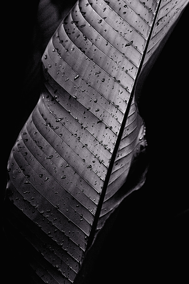 Photograph The Black Leaf by Johnny Gomez on 500px
