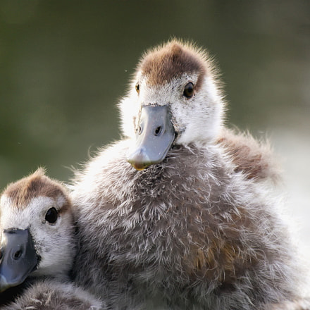 Baby-Wild Goose and the, Canon EOS M10, Canon EF-M 55-200mm f/4.5-6.3 IS STM