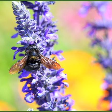 Busy Spring Bee, Nikon D850, Sigma APO 120-400mm F4.5-5.6 DG OS HSM