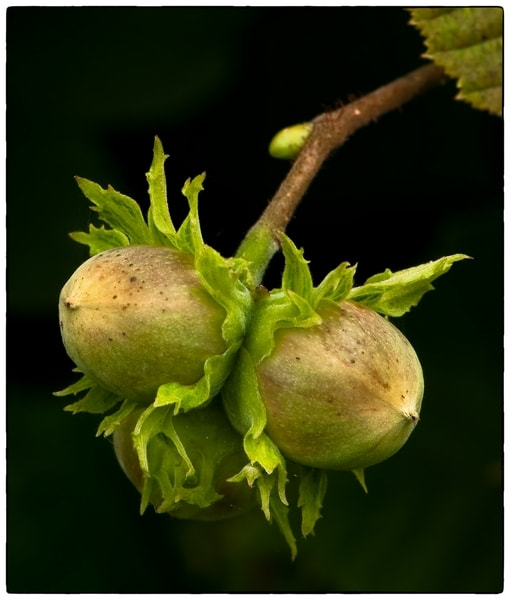 Photograph Hazelnuts by Cor Pijpers on 500px