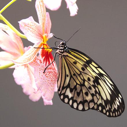 Butterfly 1, RICOH PENTAX K-70, Sigma 18-300mm F3.5-6.3 DC Macro HSM