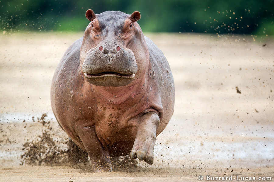 Photograph Angry Hippo by Will Burrard-Lucas on 500px