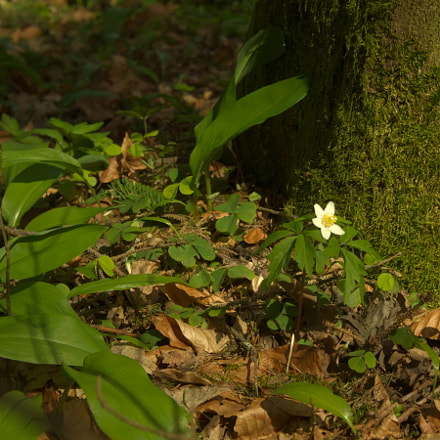 wood anemone, Sony NEX-5N, Sony E 18-55mm F3.5-5.6 OSS