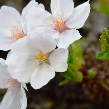 桜, Nikon D7500, Sigma Macro 105mm F2.8 EX DG