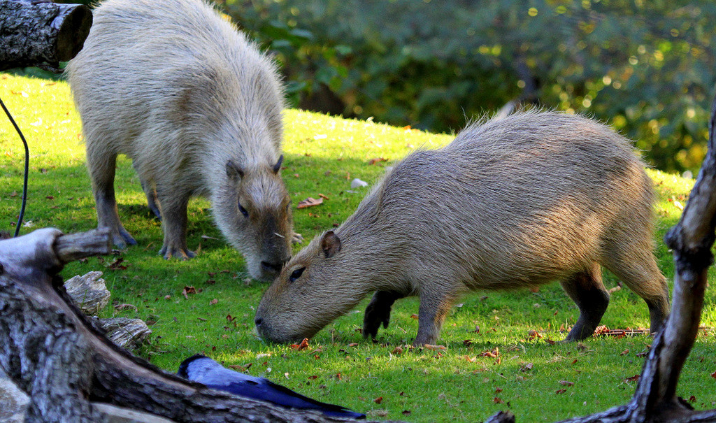 Photograph Grazing capybaras by Rainer Leiss on 500px