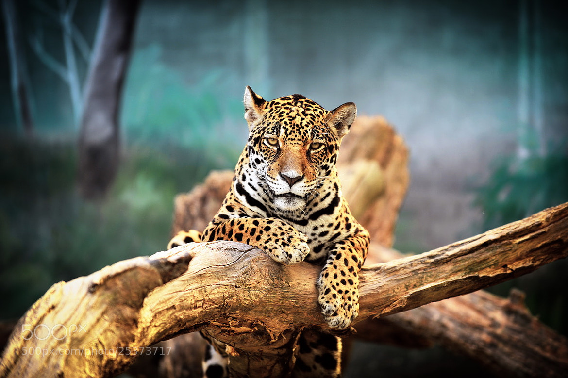 Photograph Leopard by Gregory Malashin on 500px