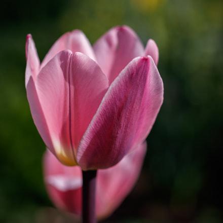 Tulips in a wonderful garden