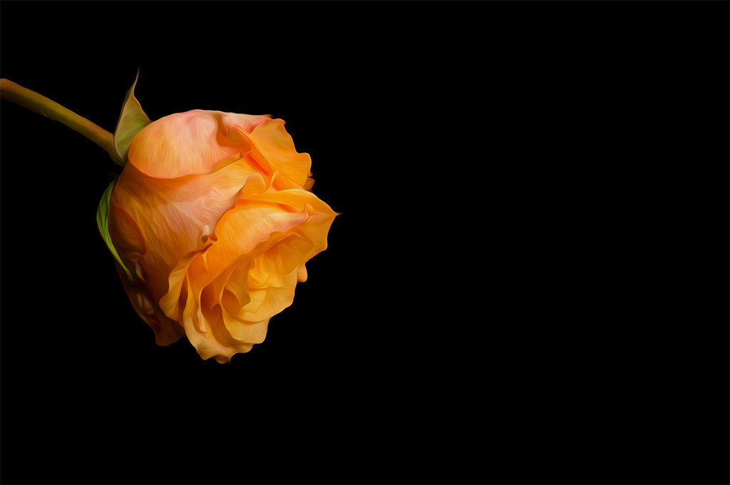 Photograph The Rose! (°156) by Star Lee on 500px